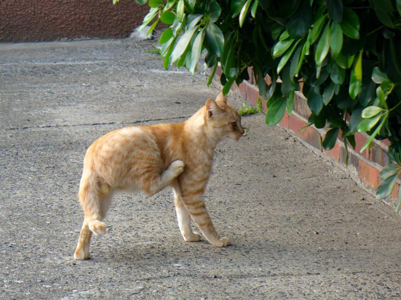 向こう向きで毛づくろいする茶白猫3