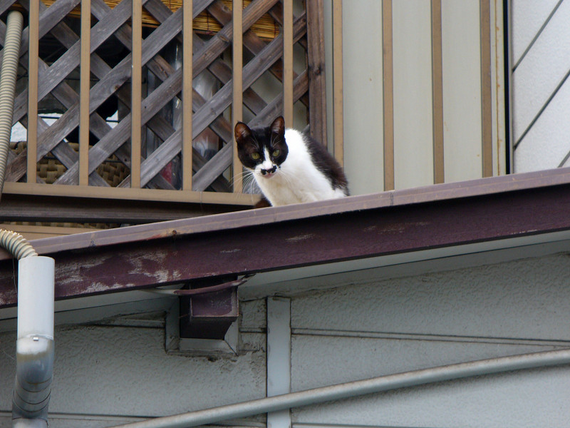 屋根上の黒白猫3