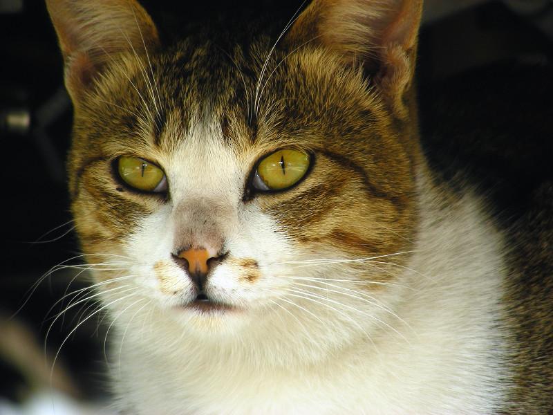 車の下のキジ白猫4