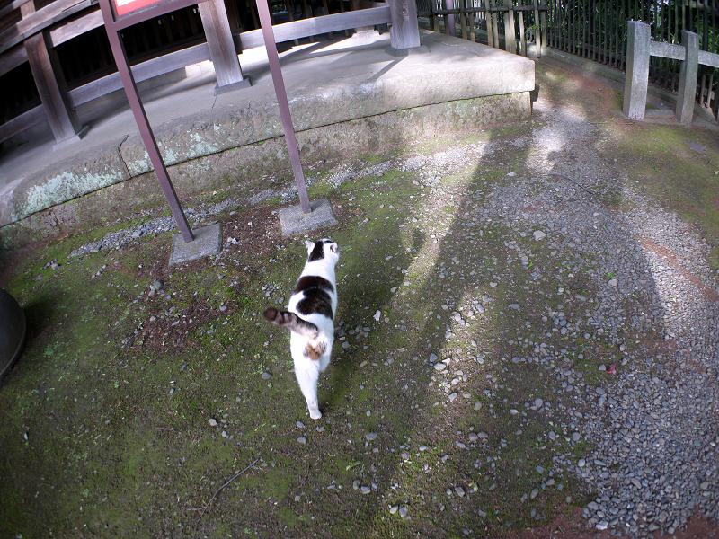 早足で歩く白キジ猫1