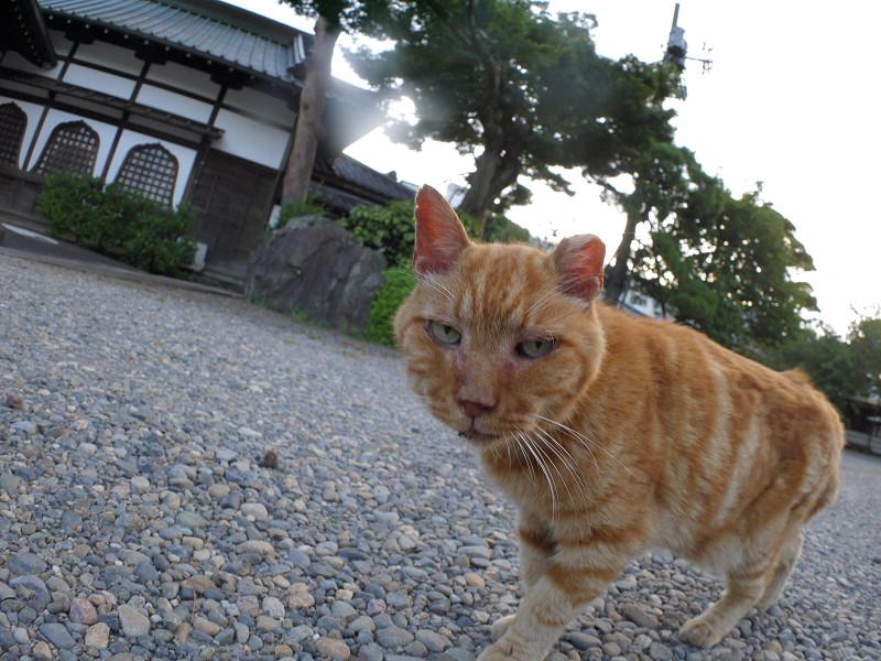 境内を歩いたアメショー風の猫1