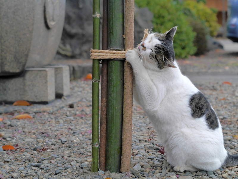 縄に恍惚になる白キジ猫2