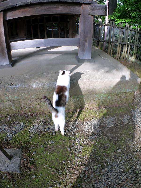 早足で歩く白キジ猫2
