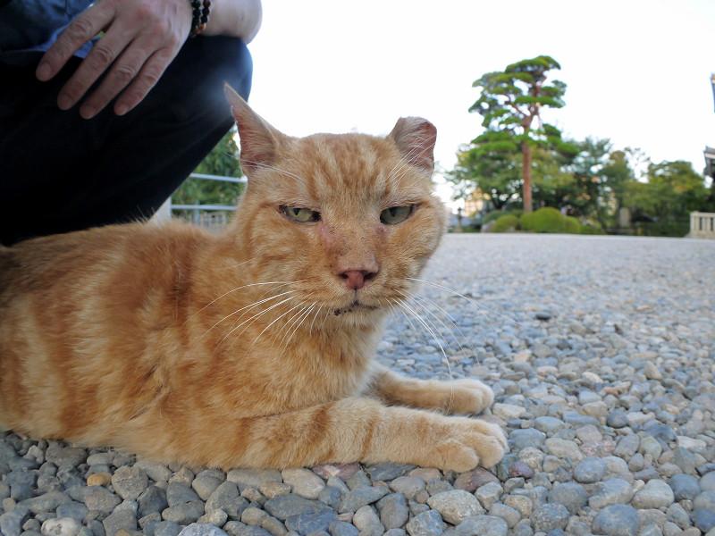 境内を歩いたアメショー風の猫2