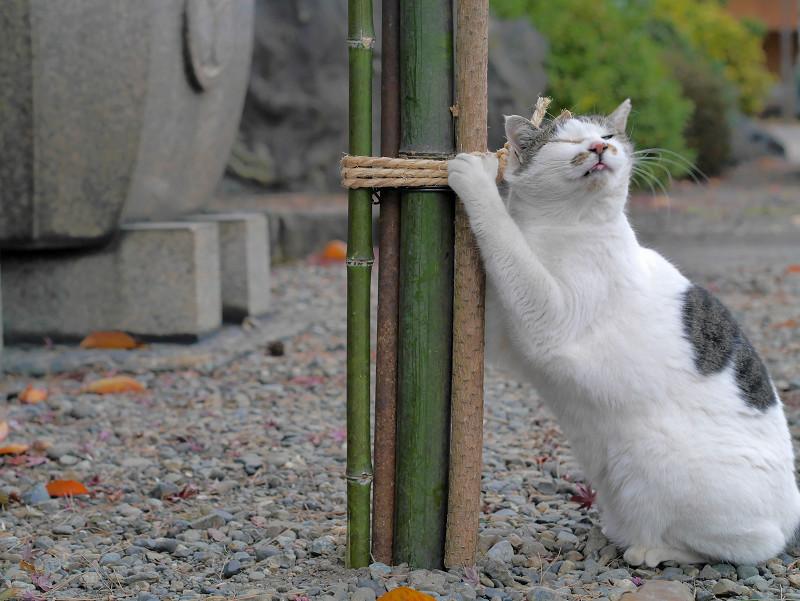 縄に恍惚になる白キジ猫3