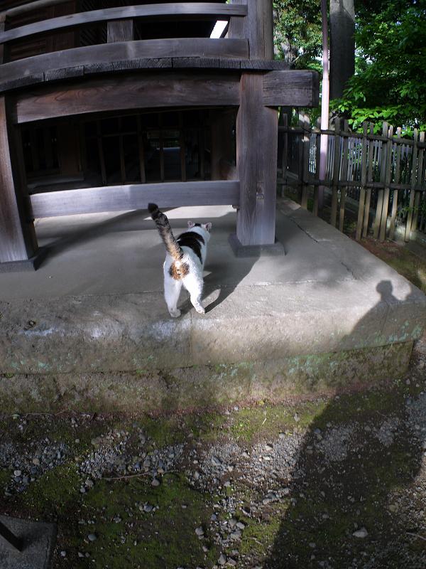 早足で歩く白キジ猫3