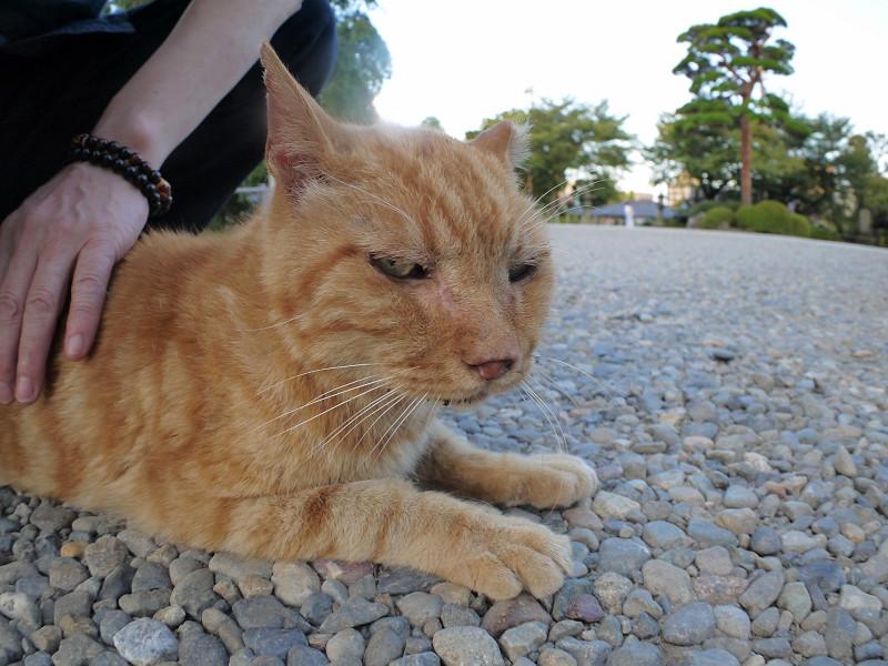 境内を歩いたアメショー風の猫3