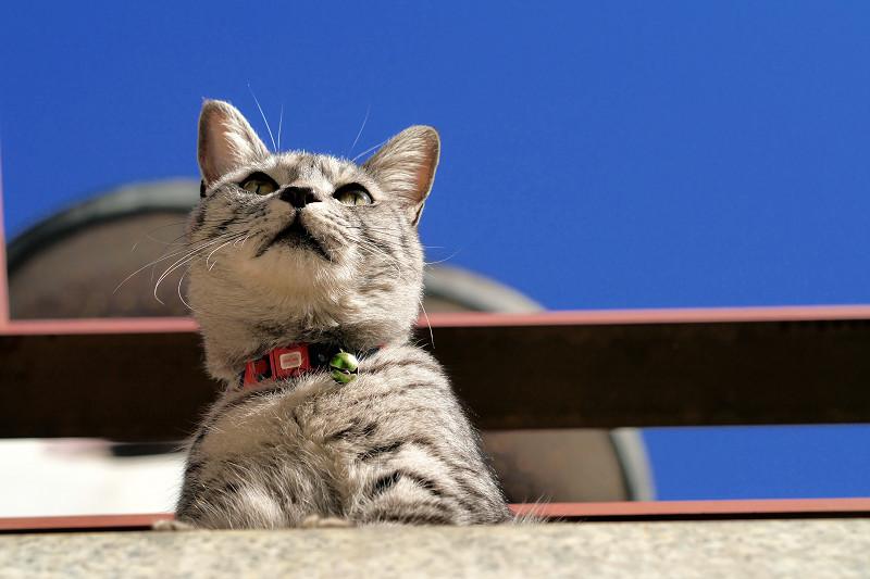 人を見下ろすサバトラ猫1