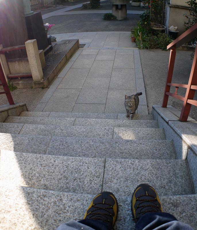 階段を上がって来るサバトラ猫1