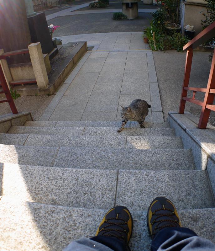 階段を上がって来るサバトラ猫2