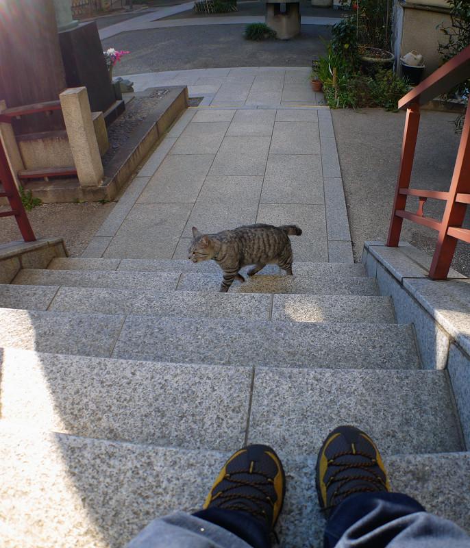 階段を上がって来るサバトラ猫3
