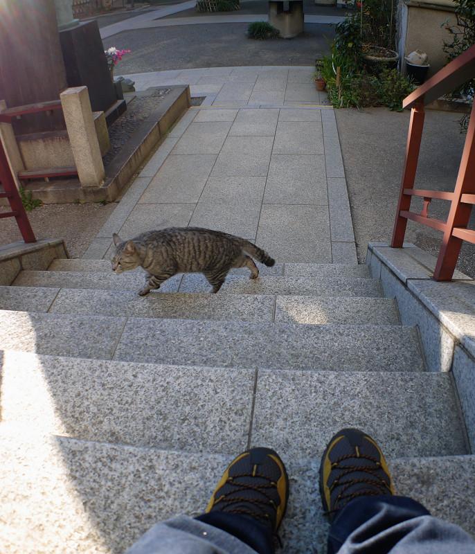 階段を上がって来るサバトラ猫4