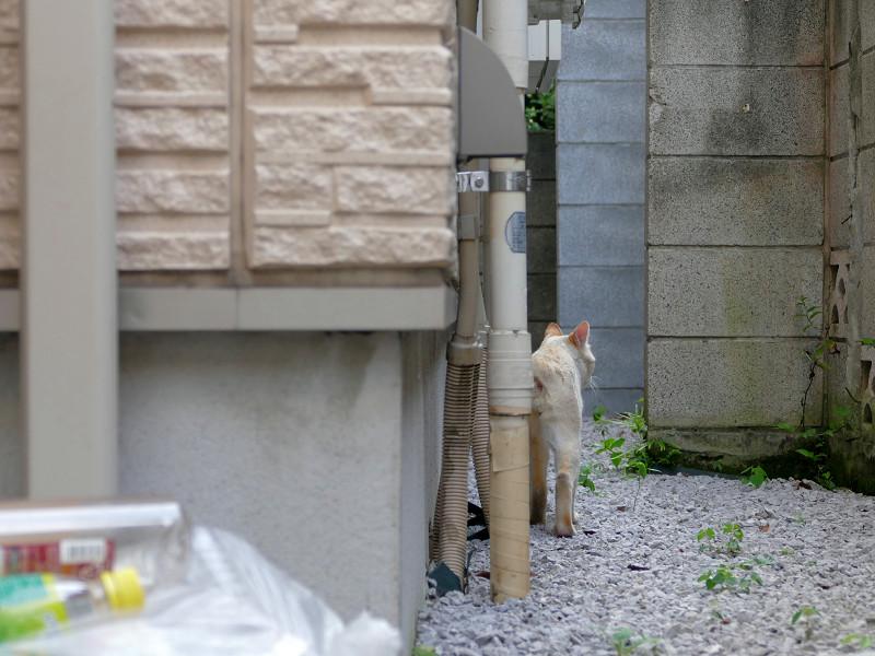 有るき去ってる白系猫1
