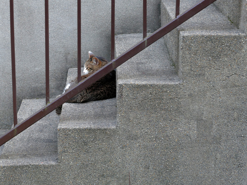 階段のキジ白猫1