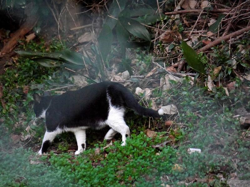 斜面を歩いていた黒白猫
