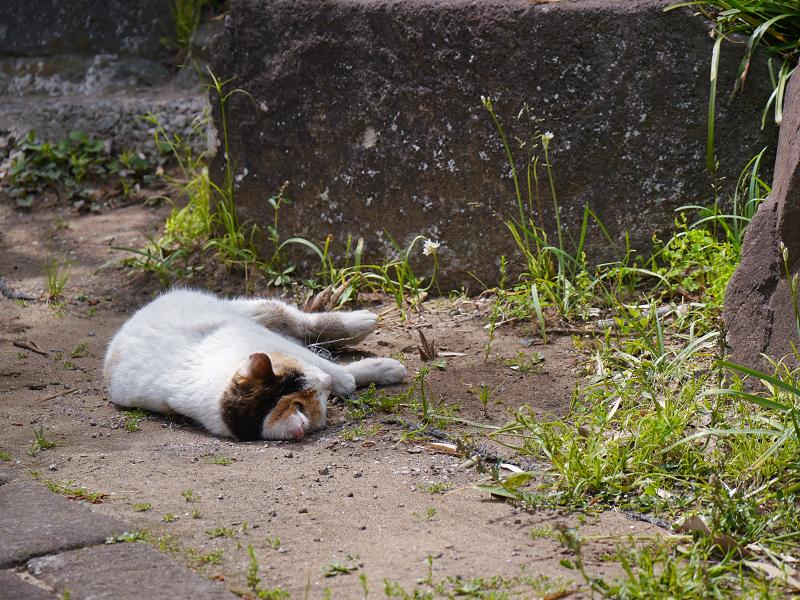 転がって休む白三毛猫1