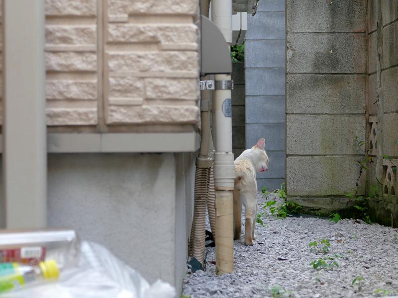 有るき去ってる白系猫2