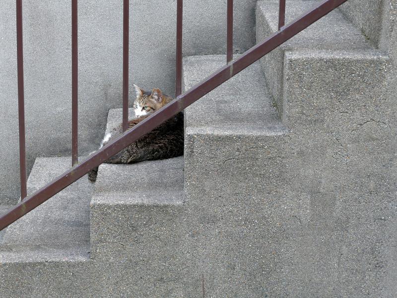 階段のキジ白猫2