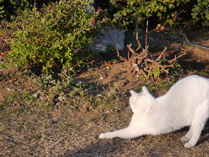 草地で前伸びをする白猫2