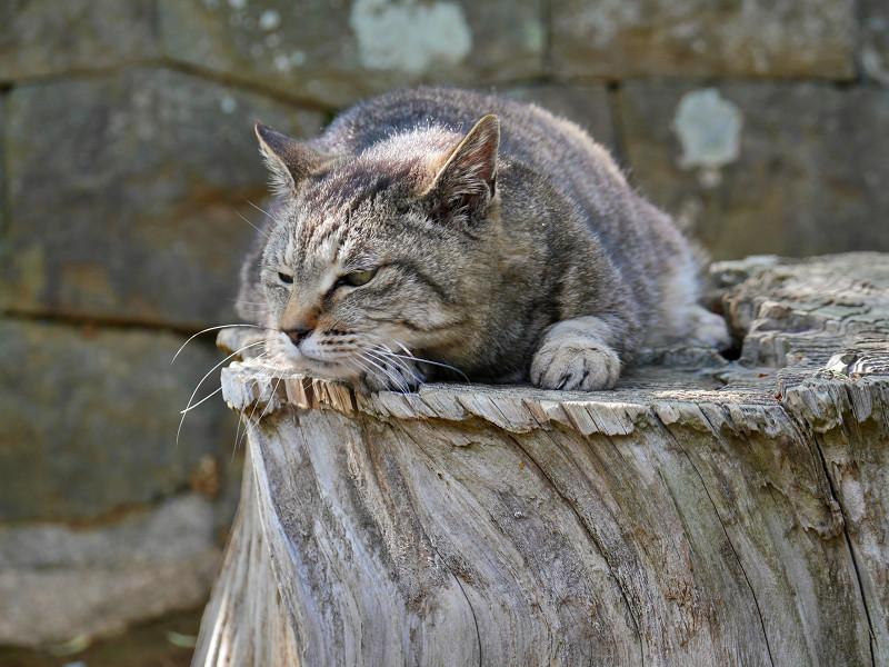 切り株のキジトラ猫2