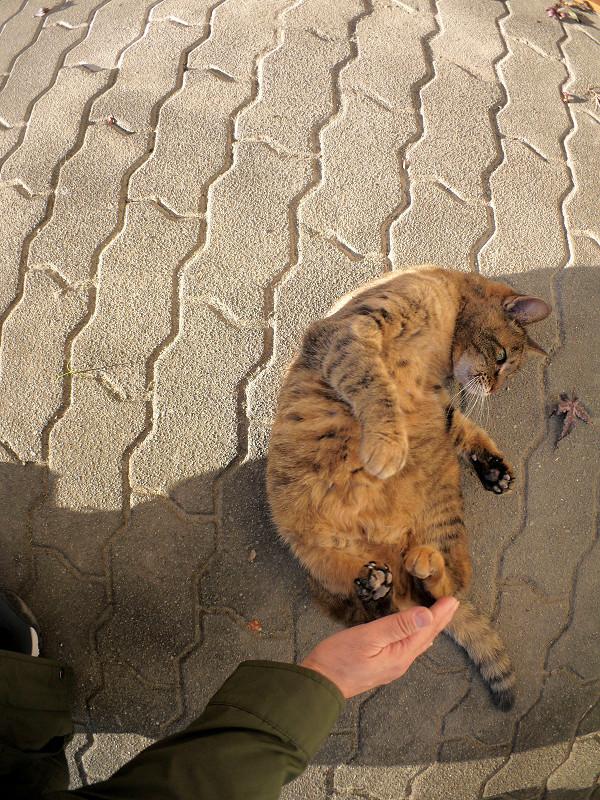 転がりダンスのサビ柄猫3