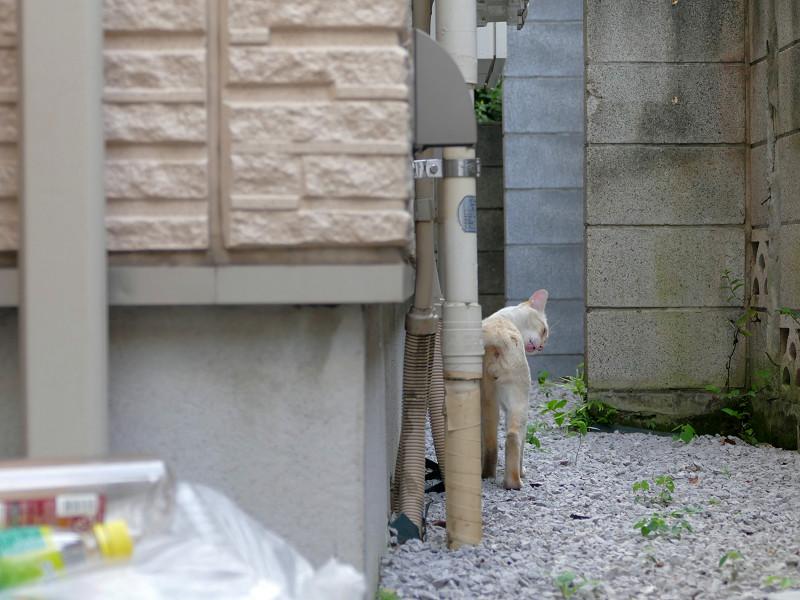 有るき去ってる白系猫3