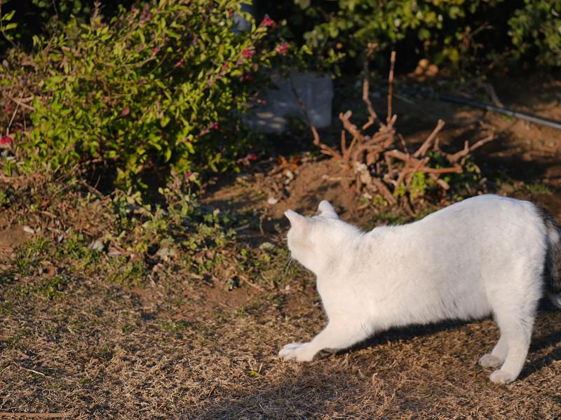 草地で前伸びをする白猫3