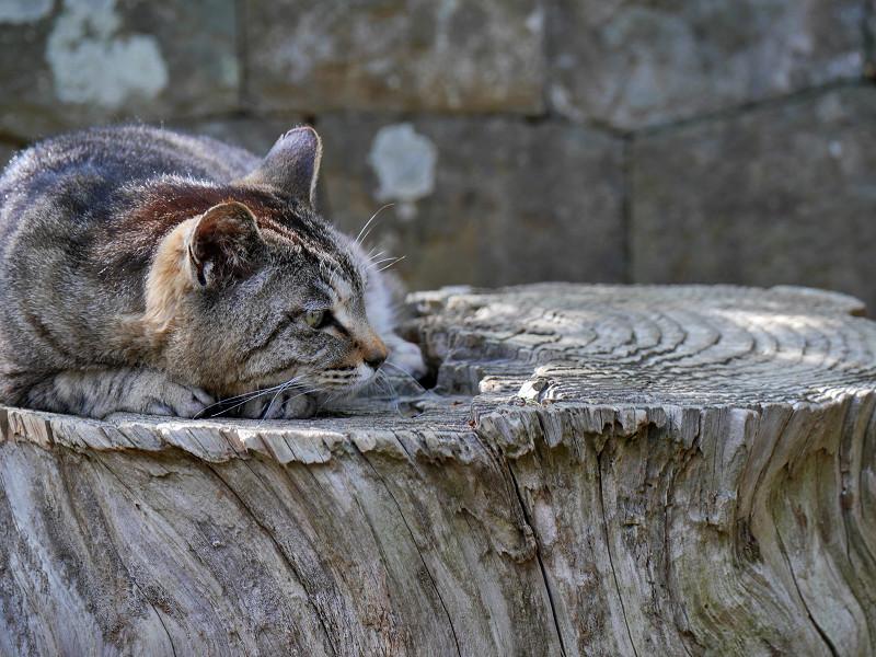 切り株のキジトラ猫3