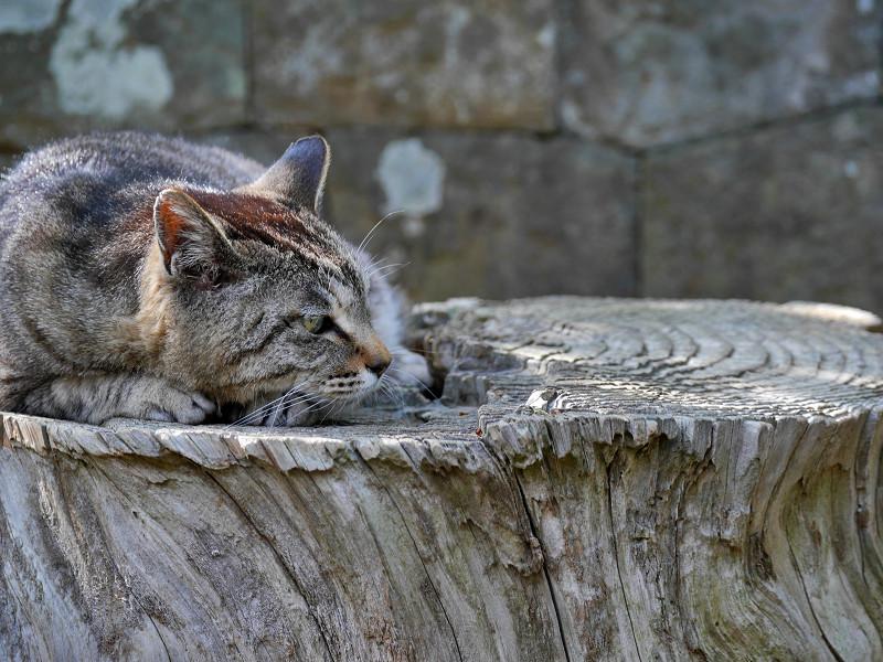 切り株のキジトラ猫4