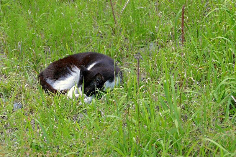 草むらの黒白猫1