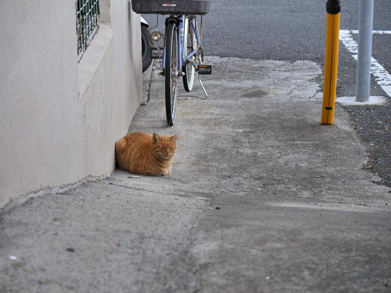 スロープの茶トラ猫1