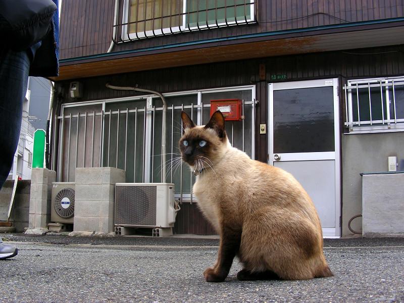 堂々と座る洋風猫1