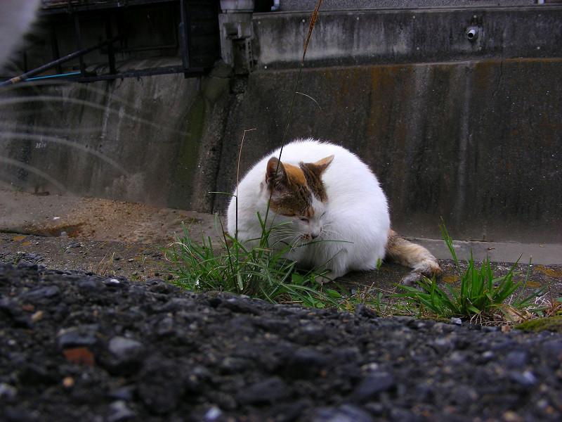 草を食べてるような猫1