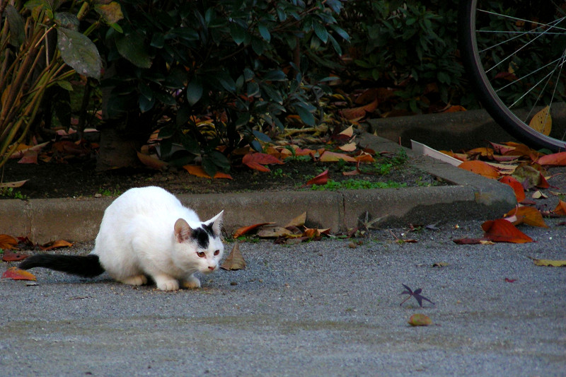 公園の土の上の白黒猫1