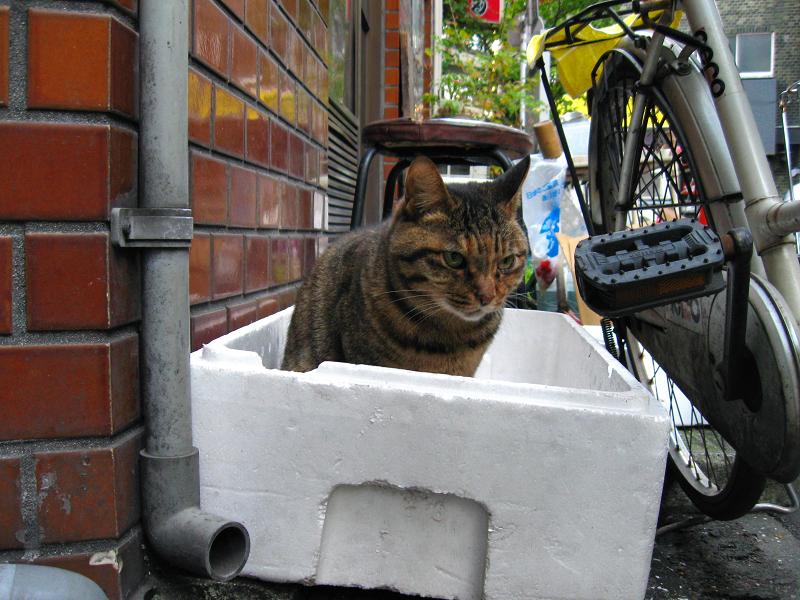 発泡スチロール箱からキジトラ猫1