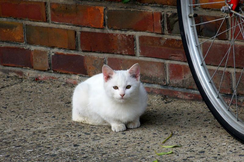 公園の白猫1