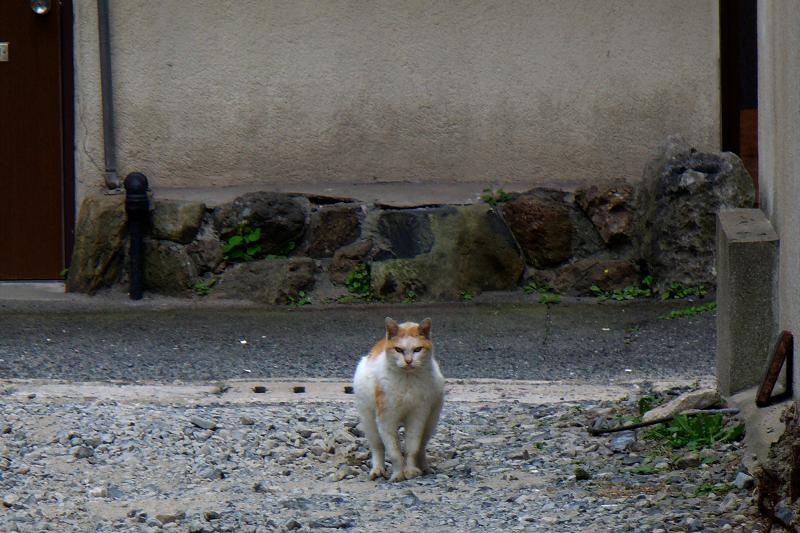 気張ってる白茶猫1