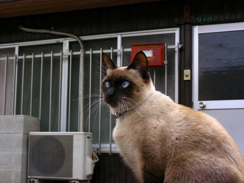 堂々と座る洋風猫2