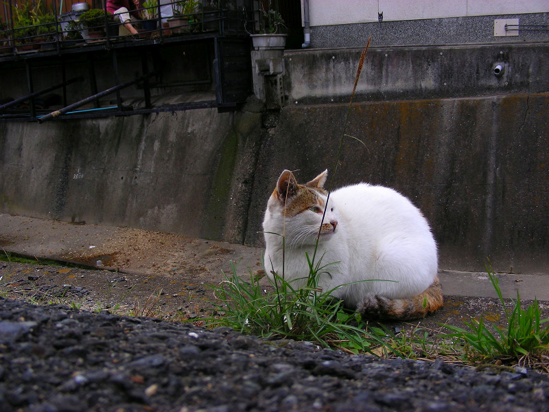 草を食べてるような猫2