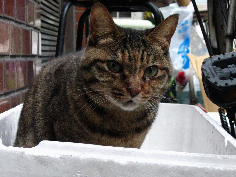 発泡スチロール箱からキジトラ猫2