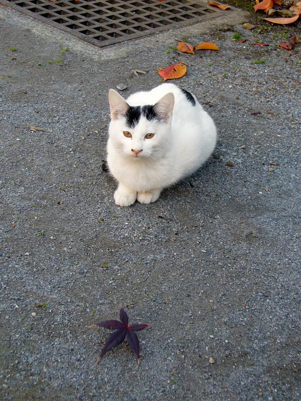 公園の土の上の白黒猫2