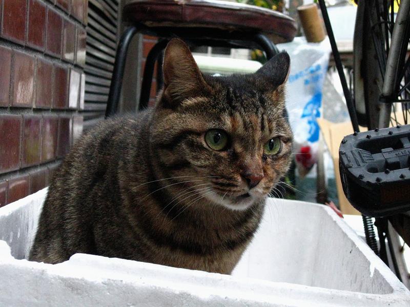 発泡スチロール箱からキジトラ猫3
