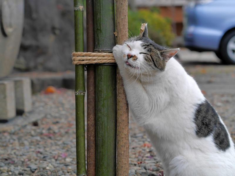 気持ちよくて堪らない白キジ猫1