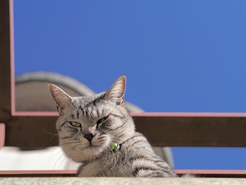 大口開けるサバトラ猫1