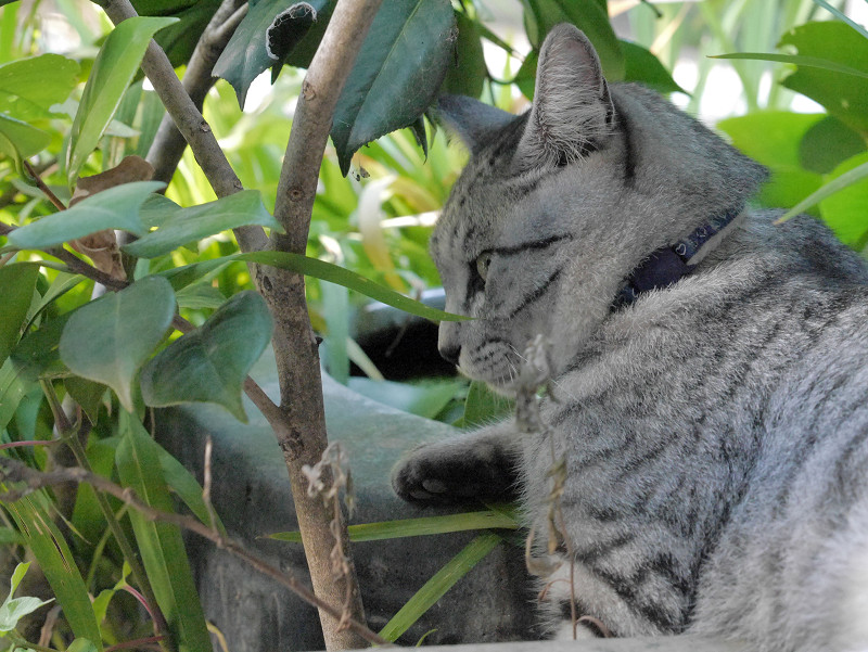 植え込みの中のサバトラ猫1