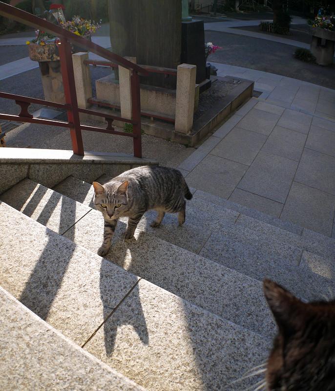 階段の端を歩くサバトラ猫1