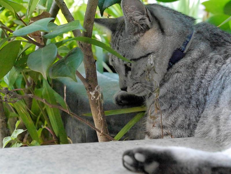 植え込みの中のサバトラ猫2