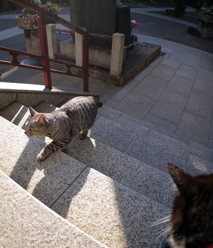 階段の端を歩くサバトラ猫2