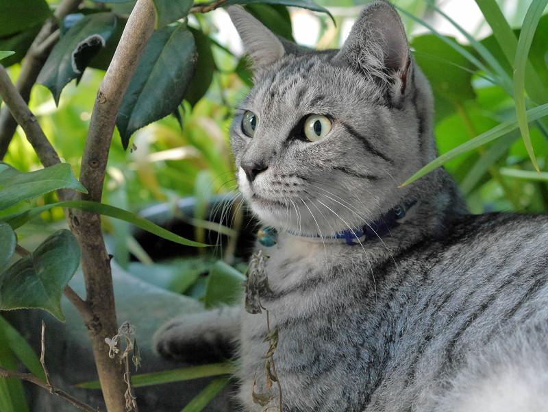 植え込みの中のサバトラ猫3