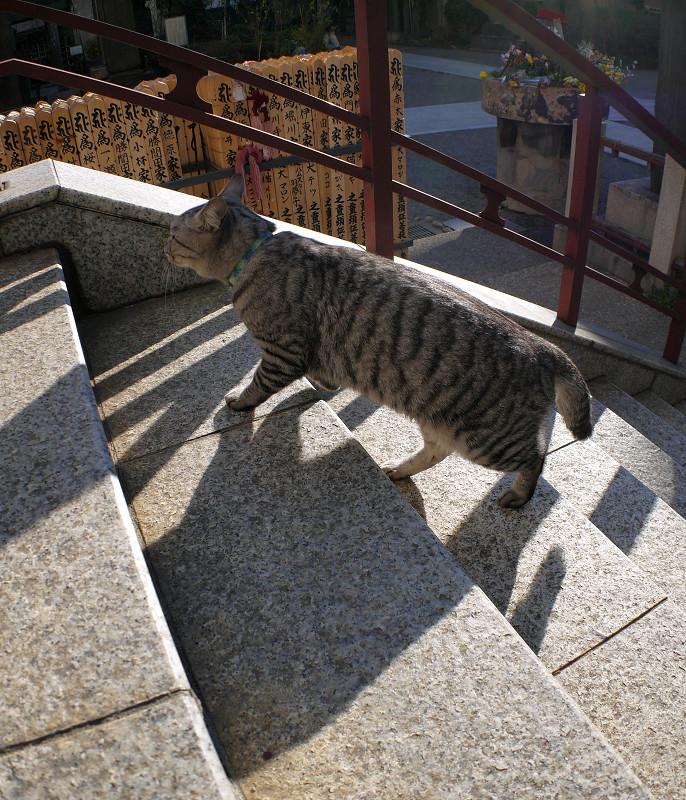 階段の端を歩くサバトラ猫3